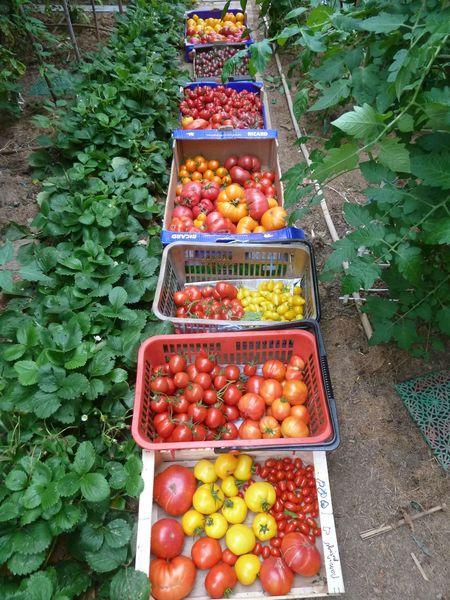 26-récolte serre du jour-37kgs (6)