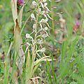 Orchis bouc - Himantoglossum hircinum (4)
