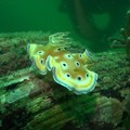 nudibranche2