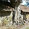 Le vieux chêne dans la grange