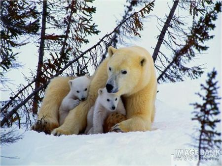 maman_ours_blanc_et_2_oursons