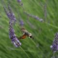 26-Sphynx colibri et lavande