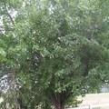 L'oranger des Osages