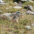 12 - Marmotte