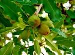arbre_de_karit_