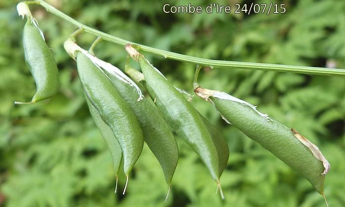 gousses glabres de 25-30 mm de long sur 3-8 de large un peu renflées stipitées