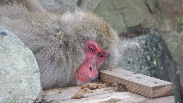 singe qui se repose