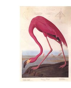 Audubon_Flamant_rose