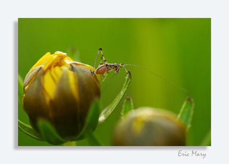 larve_de_sauterelle