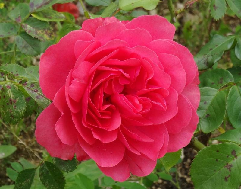 rosier de willemse fuchsia 1