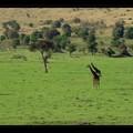 Girafe 5FE