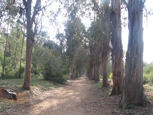 All_e_des_Eucalyptus_2