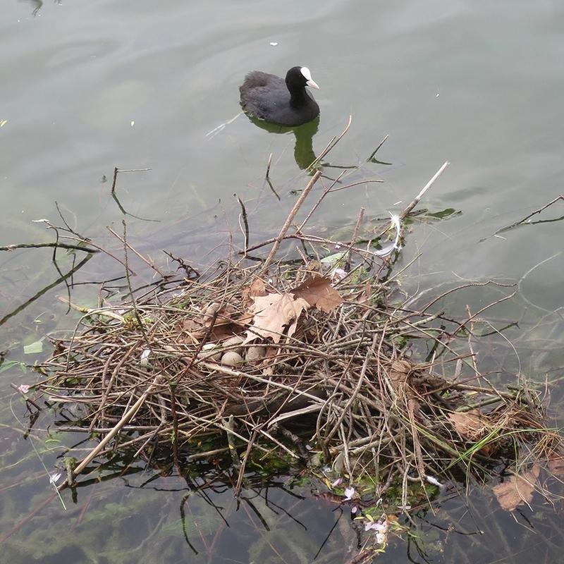nid de foulque