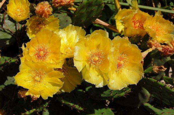 une fleur de cactée