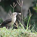 9-Merle femelle-Quiscalus lugubris