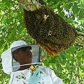L'apiculteur commence le travail de la récolte de l'essaim;