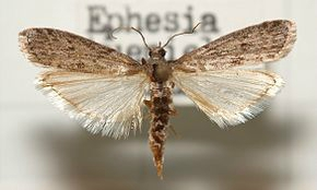 290px-Ephestia