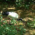 Ibis sacré - Threskiornis aethiopicus (2)