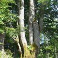 Tour de l'aiguille de la Tournette: arbre à 3 têtes
