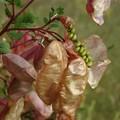 Colutea arborescens (baguenaudier)