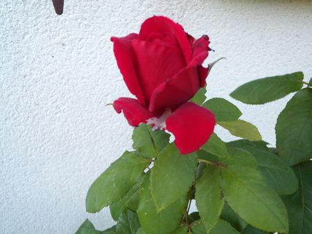 roses_005