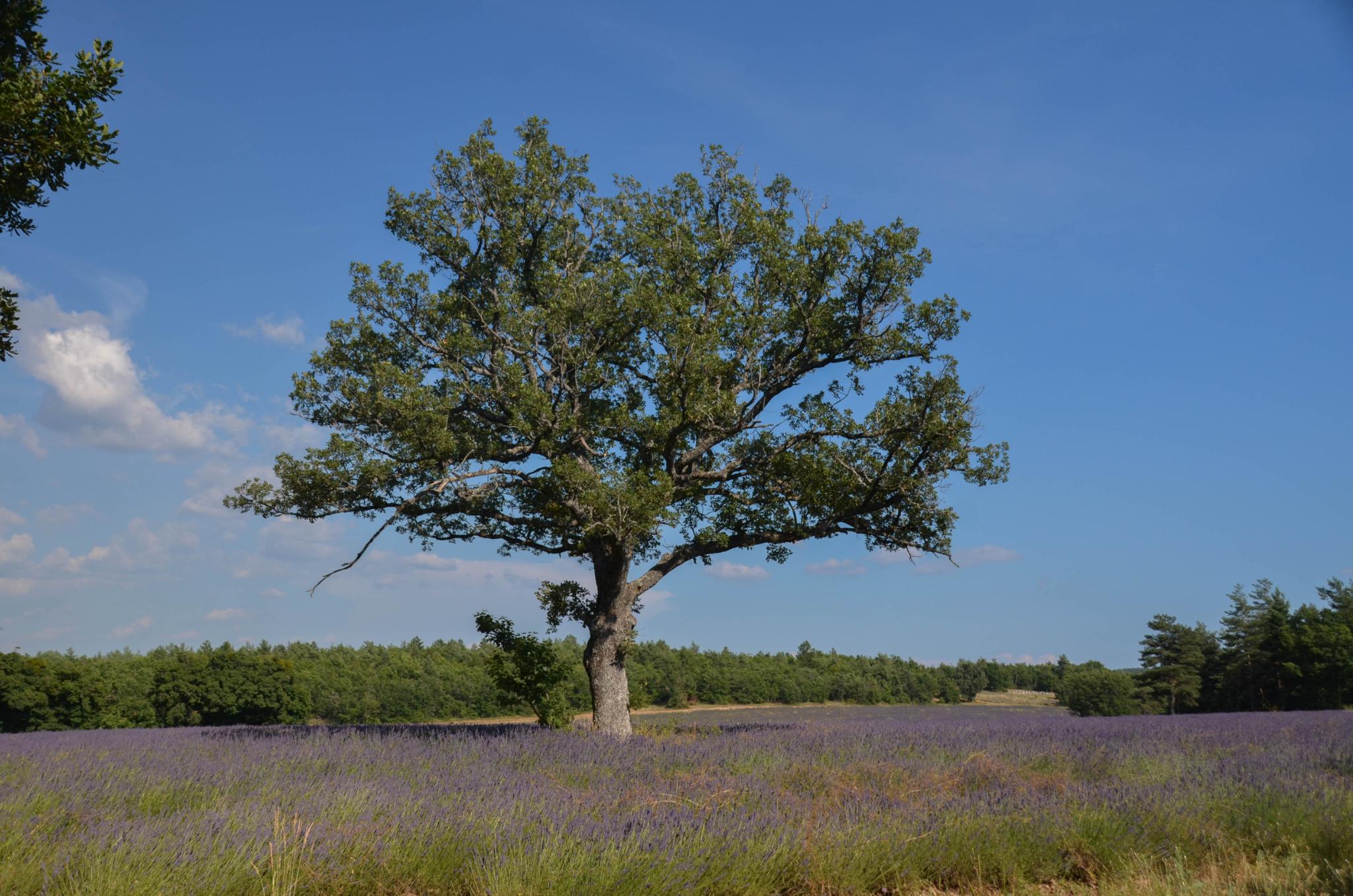 Que serait la Provence, sans la lavande ?