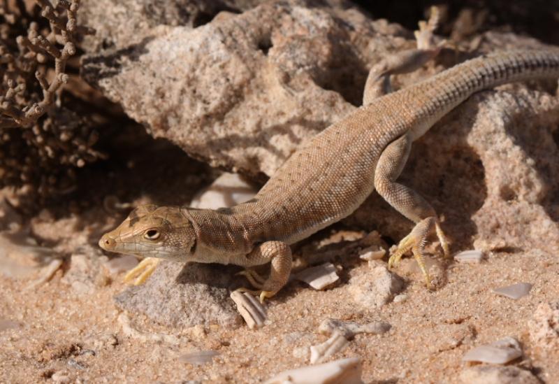 Acanthodactylus aureus2_Sud Cap Barbasse_Maroc_XRu
