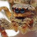 Saltique Marpissa muscosa • Famille des Salticidae