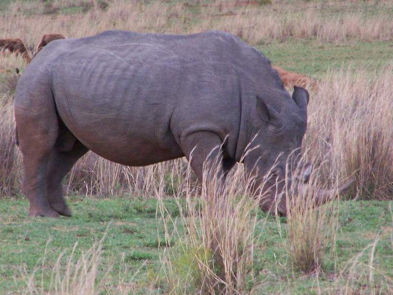 rhinoceros d'afrique