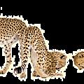Léopard, panthère