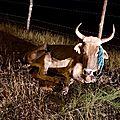 Vache squelettique sur Deshaies a été heurtée par une voiture constat fait par les gendrames et elle est laissée à son triste sort 1
