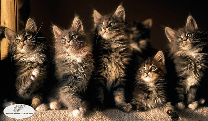 CHAT_MAINE_COON_chatons