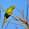 Conure pavouane (aratinga leucophthalma)