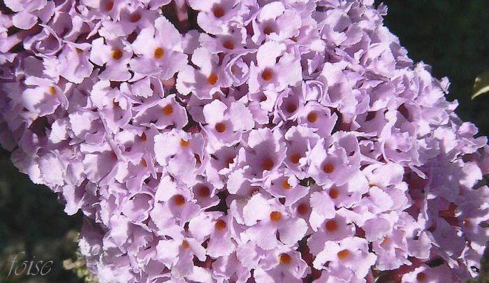 corolle violet pourpre à gorge orangée
