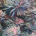 euphorbia chariacas 'Pink'