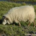Mouton islandais (1).