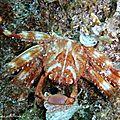 Crabe plat des oursins (percnon gibbesi)