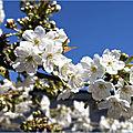 cerisier2020_2