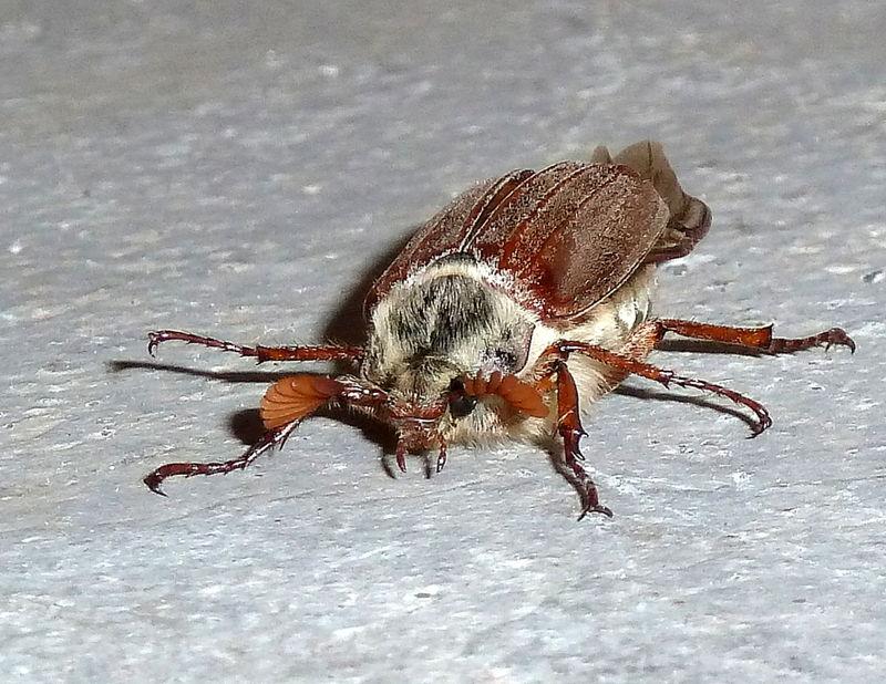 hanneton mâle