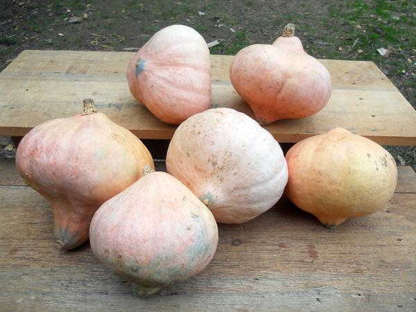 Photo-Hidatsa-winter-squash-maxima_grande