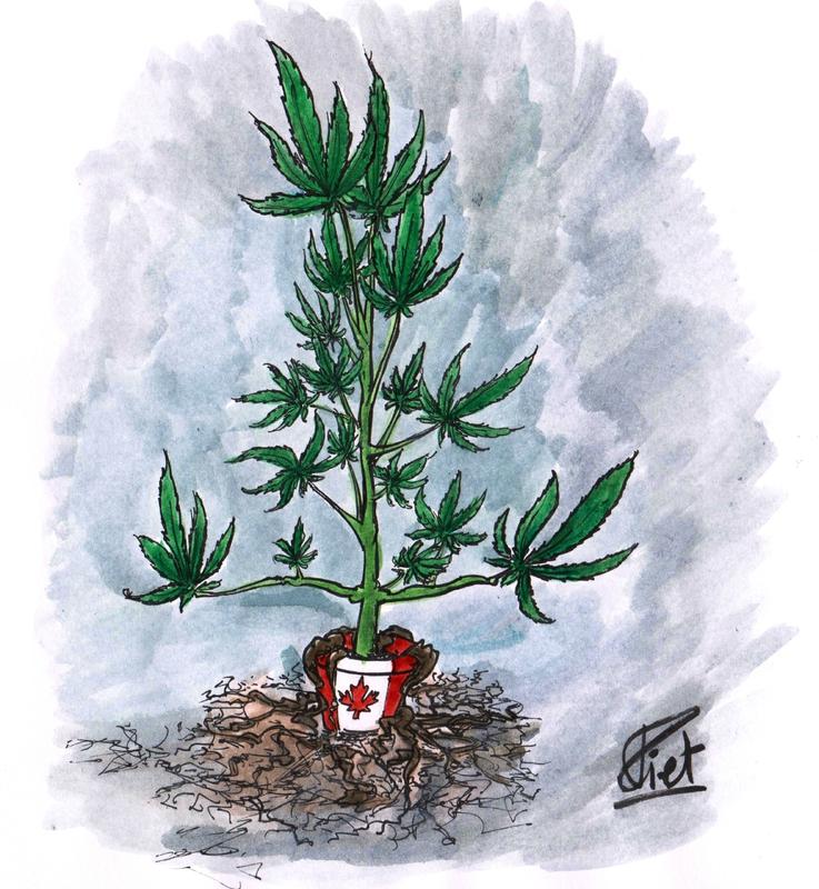 cannabis enraciné