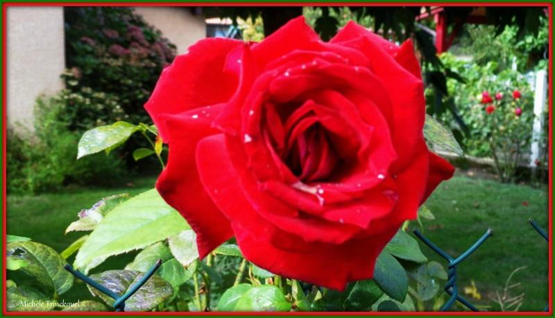 Rose 1909153