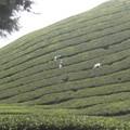 Cameron Highlands, trek, Tea plantation