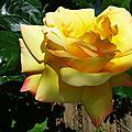 Rose 21051616