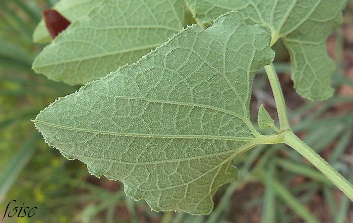 feuilles érodées denticulées scabres nervures sailllantes