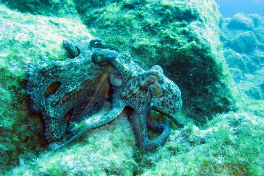 Poulpes_Octopus vulgaris_Las Galletas_XRu