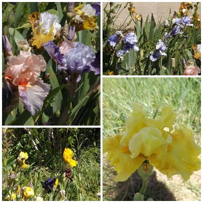 Iris du B 1 (3)