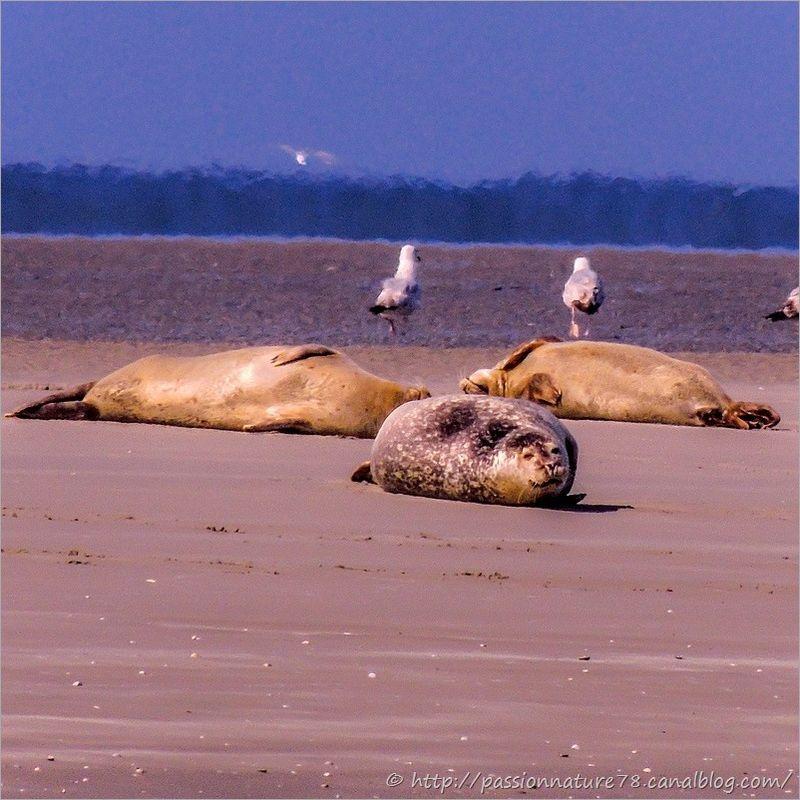 Phoques baie de Somme (13)