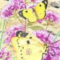 papillon souffre