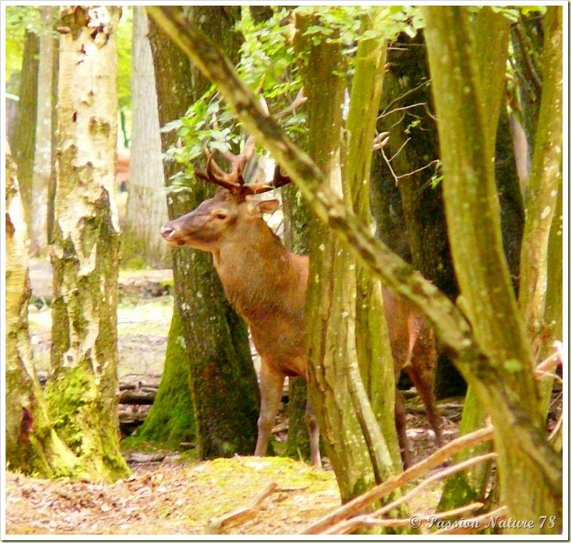 Rencontre avec les cerfs (4)